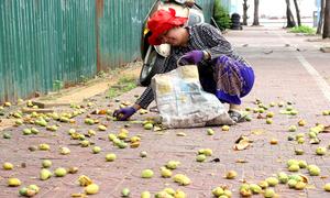 Người dân Vũng Tàu hái quả bàng chẻ lấy hạt bán