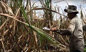 Nông dân Hậu Giang lội nước lũ thu hoạch mía