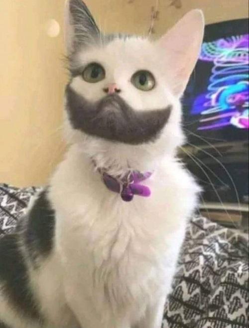 Mèo soái ca.