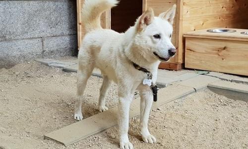 Chú chó Pungsan một năm tuổi, món quà Triều Tiên tặng cho Tổng thống Hàn Quốc Moon Jae-in. Ảnh: Blue House.