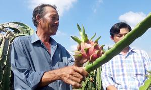 Nông dân Bình Thuận trồng thanh Long sạch xuất khẩu giá cao