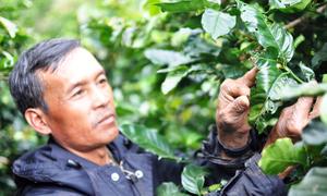 3.500 ha cà phê ở Lâm Đồng bị bọ xít muỗi tấn công