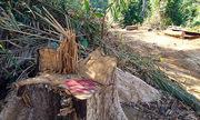 Chặt trái phép hơn 50 cây, giám đốc bị bắt