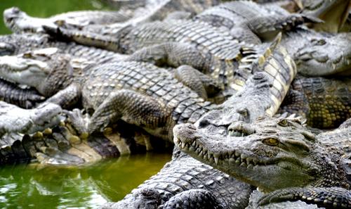 Với tổng đàn hơn 40.000 con cá sấu, hàng năm đem về thu nhập hàng chục tỷ đồng. Ảnh: Ly Linh.