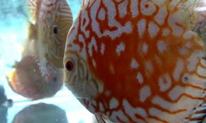 Thu 4 tỷ mỗi tháng từ xuất khẩu cá cảnh ở TP HCM