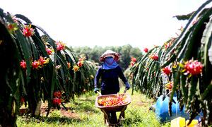 Nông dân trồng thanh long ở Bà Rịa - Vũng Tàu lo phải hái bỏ trái