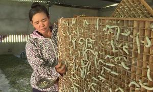 Nghề nuôi tằm lấy kén cho thu nhập cao ở Khánh Hòa