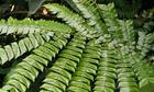Giống cây quý trị ung thư gan được nhân giống thành công ở Việt Nam