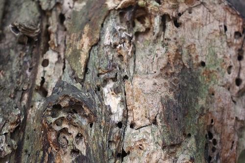 Sau thời gian dài chịu mưa nắng, thân cây sưa xuất hiện nhiều mối mọt. Ảnh: Gia Chính