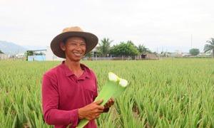 Trồng nha đam, nông dân kiếm hàng trăm triệu đồng mỗi năm