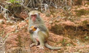 Du khách cho khỉ ăn trên bán đảo Sơn Trà bất chấp cảnh báo
