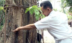 Cây sưa đỏ trăm tỷ tại Hà Nội bị mối mọt hủy hoại