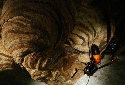 Ong bắp cày có nọc độc hơn cả nọc rắn. Ảnh: ST.