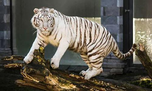 Con hổ đực 5 tuổi tên Riku được cho là hung thủ vồ chết nhân viên sở thú. Ảnh: NDTV.