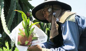 Người trồng thanh long dùng giấy bọc trái chín chờ giá lên