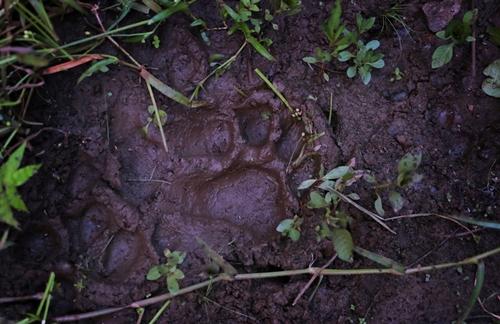 Dấu chân hổ được phát hiện gần làng Khairgaon hồi tháng trước. Ảnh: NYTimes.