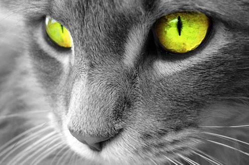 Tại sao mắt mèo phát ánh sáng xanh trong đêm?