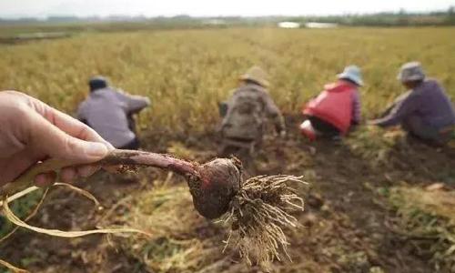 Tỏi trồng đã đến ngày thu hoạch trên cánh đồng làng Tam Doanh. Ảnh: QQ.