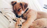 Chó nằm úp tai xuống đất do thói quen hay để nghe tiếng động?