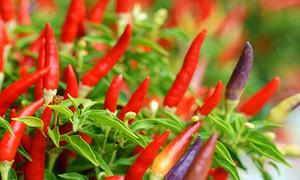 Malaysia dừng nhập ớt Việt Nam vì dư lượng thuốc bảo vệ thực vật