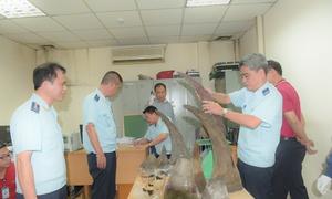 Hải quan Nội Bài bắt hơn 50 kg nghi sừng tê giác