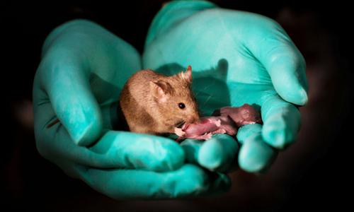 Con non của cặp chuột cái tiếp tục sinh sản thành công. Ảnh: Leyun Wang.