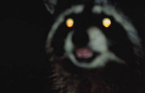 Lái xe ban đêm thường gặp phải những tình huống bất ngờ từ động vật khi sang đường.