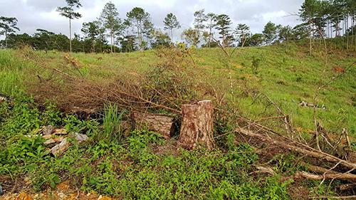 Hơn 1.000 cây thông ở Lâm Đồng bị chặt hạ, bơm thuốc độc - ảnh 1