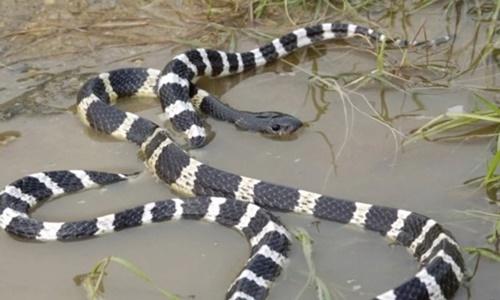 Một con rắn cạp nong. Ảnh: SCMP.
