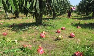 Nông dân trồng thanh long ở Bình Thuận chặt bỏ trái vì không ai mua
