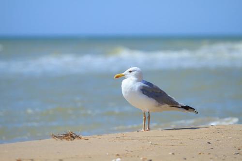 Chim mòng biển là loại chim di cư được bảo vệ khắp nước Mỹ.