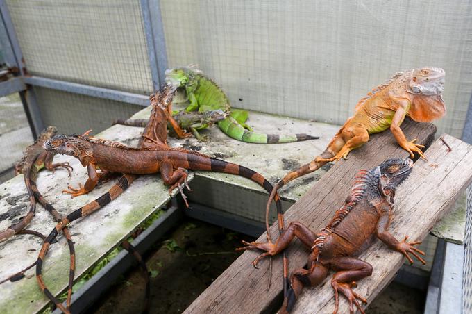 Người đàn ông nuôi hàng trăm con rồng Nam Mỹ ở Sài Gòn