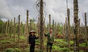Hàng chục hecta tiêu ở Đắk Nông đang nhiễm bệnh và chết khô