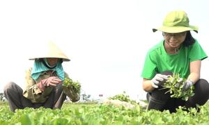 Cô gái ở TP HCM trồng rau má xuất khẩu thu 4,5 tỷ mỗi năm