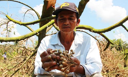 Những chùm hoa héo khô chưa kịp đậu trái rụng đầy gốc. Ảnh: Hoàng Nam