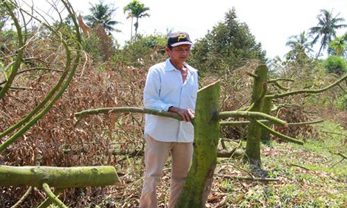 70 ha sầu riêng chết sau triều cường, nông dân miền Tây phải chặt bỏ