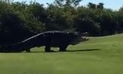Cá sấu dài gần 5 m đi dạo trên sân golf ở Mỹ