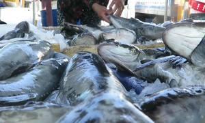 Cá bớp chết ở Quảng Ngãi do 'người dân đưa cá đi tránh bão'