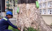 'Truyền nước biển' cứu 1.000 cổ thụ ở TP Trà Vinh