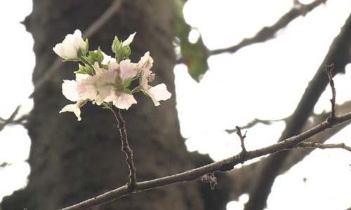 Hoa anh đào được nhìn thấy vào mùa thu tại Tokyo, Nhật Bản. Ảnh: NHK.