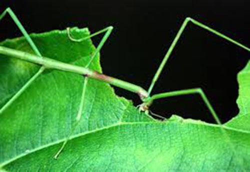 Con bọ que có màu xanh khi sống trên cây lá xanh, ở cành khô nó sẽ chuyển sang màu nâu. Ảnh: ST.
