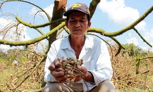 Sầu riêng chết héo vì triều cường, nông dân Bến Tre lỗ hàng tỷ đồng