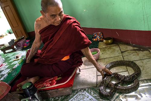 Một nhà sư vuốt ve con trăn tại phòng của ông ở chùa Baungdawgyoke. Ảnh: AFP