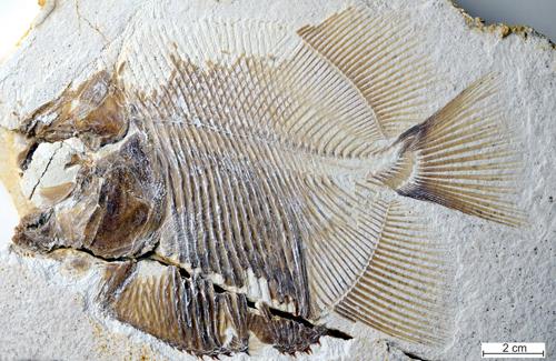 Hóa thạch cá Piranhamesodon pinnatomus sống cách đây 152 triệu năm. Ảnh: Reuters.