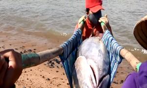 Những phụ nữ gánh cá ngừ đại dương gần 100 kg mỗi con