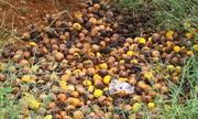 Hàng trăm tấn cam rụng la liệt vì nhiễm bệnh ở Nghệ An