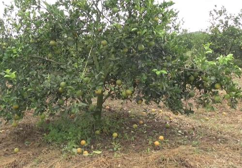 Vườn cam của hộ dân tại huyện Quỳ Hợp bị rụng. Ảnh: Hải Bình.