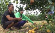 Hàng trăm tấn cam Nghệ An thối hỏng ngay trước vụ thu hoạch