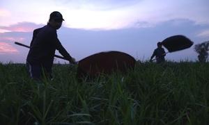 Dùng vợt săn cào cào ban đêm ở ngoại ô Sài Gòn