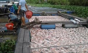 Nông dân mất tiền tỷ vì cá chết trắng bè trước ngày thu hoạch